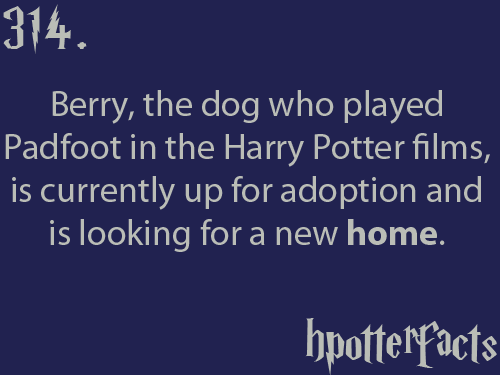 hpotterfacts:  If you or anyone you know of is interested in adopting Berry and his companion Porridge, you can visit the dog rescue's website here. You can also read more information, as told by Berry, here.   Oh my god, little baby HOW COULD NO ONE TAKE HIM IN?! ;_;