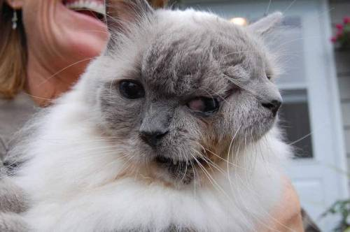 "therealkatiewest:  thedailywhat:  Two-Faced Feline of the Day: It was 12 years ago this month that a local pet breeder brought Frank and Louie to Tufts Veterinary Clinic to be euthanized. You see, Frank and Louie is no ordinary cat — the verb conjugation alone should have tipped you off to that. Frank and Louie is a Janus cat, and he wasn't expected to live very long. But veterinary nurse Marty was up to the challenge, and took Frank and Louie home with her. Fast forward a dozen years, and the two-faced cat was just named the ""longest-lived Janus cat"" by Guinness World Records. Watch the Worcester Telegram & Gazette report below for more on this amazing fate-defying feline:     [telegram / cheatsheet.]  I love this cat. I love Frank and Louie so much that I just cried when I watched the video because he is so cute and adorable. Also, give Frank and Louie a cigarette and:   Ye gods, it's the two-faced smoking cat from Transmetropolitan. Wonder if it eats lizards."