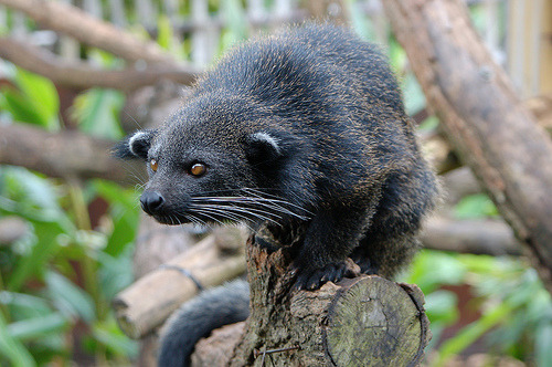 BINTURONGArctictis binturong©jennifernasim Its natural habitat is in trees of forest canopy in rainforest of Bangladesh, Bhutan, Burma, Cambodia, China, India, Indonesia, Laos, Malaysia, the Philippines, Sri Lanka, Thailand, and Vietnam. It is nocturnal and sleeps on branches. It eats primarily fruit, but also has been known to eat eggs, shoots, leaves, and small animals, such as rodents or birds. Deforestation  has greatly reduced its numbers. When cornered, the Binturong can be  vicious. The Binturong can make chuckling sounds when it seems to be  happy and utter a high-pitched wail if annoyed. The Binturong can live  over 20 years in captivity; one has been recorded to have lived almost 26 years. The scent of Binturong musk is often compared to that of warm buttered popcorn and cornbread. The Binturong brushes its tail against trees and howls to announce its presence to other Binturongs. Source: http://en.wikipedia.org/wiki/Binturong Other posts: Grandider's Mongoose Malay Civet Cat Kopi Lewak - Asian Palm Civet —- Dear Paxton, If there wasn't enough to love, I also smell like warm-buttered popcorn.P.S. I'd love you more if you spelled my name right :) —Binturong —- rhamphotheca:  Dear Mr. Binterong, I… I think I love you. - Paxon