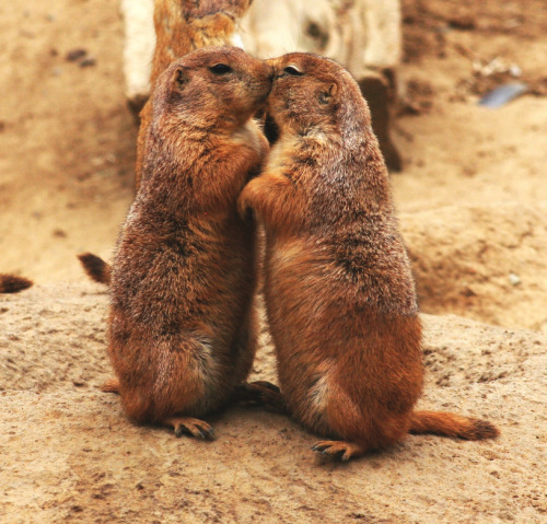 llbwwb:  Kissing prairie dogs by Mila Zinkova