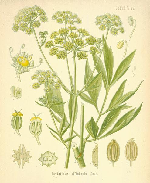 Lovage The Garden Lovage is one of the old English herbs that was formerly very generally cultivated, and is still occasionally cultivated as a sweet herb, and for the use in herbal medicine of its root, and to a less degree, the leaves and seeds. It is a true perennial and hence is very easy to keep in garden cultivation; it can be propagated by offsets like Rhubarb, and it is very hardy. Its old-time repute has suffered by the substitution of the medicinally more powerful Milfoil and Tansy, just as was the case when 'Elecampane' superseded Angelica in medical use. The public-house cordial named 'Lovage,' formerly much in vogue, however, owed such virtue as it may have possessed to Tansy. Freshly-gathered leafstalks of Lovage (for flavouring purposes) should be employed in long split lengths.