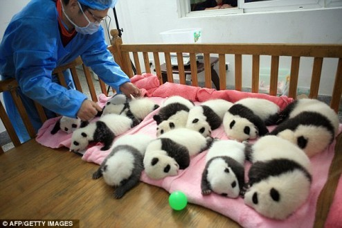 Picture This - PANDAmonium - 12 Baby Pandas Napping In A Row (WIDK) Posted to WIDK by Emily Moore (Daily Mail Reporter) — They are a picture of cute that would make anyone say 'aah'.  But these Giant Panda cubs, napping peacefully in their nursery, have a far more important role to play. They have been born and raised in the research base of the Giant Panda Breeding Center in Chengdu, China, which is attempting to preserve the notoriously sex-shy species.  Their successful upbringing comes as China launches its once-a-decade census to determine how many of the endangered bears live in the wild. The census - the fourth since it was first launched in the 1970s - is also expected to work out their living conditions, ages and any change in habitat.  According to the count a decade ago, there are 1,596 pandas left in the wild in China, with 1,206 of them living in Sichuan. The Giant Panda Breeding Centre boasts the world's largest artificially bred population with 108. Original Article