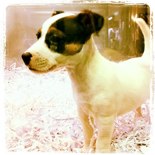 Puppy Love.  Saw this cute little puppy at the local petshop today. Took me all my restraint not to take her home!   #iphone #puppy dog #cute (Taken with instagram)