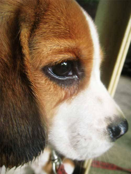 aplacetolovedogs:  Submitted by ironicgetaway: The eyes. I love the eyes of Jumper, my 2-month old beagle :) Original Article
