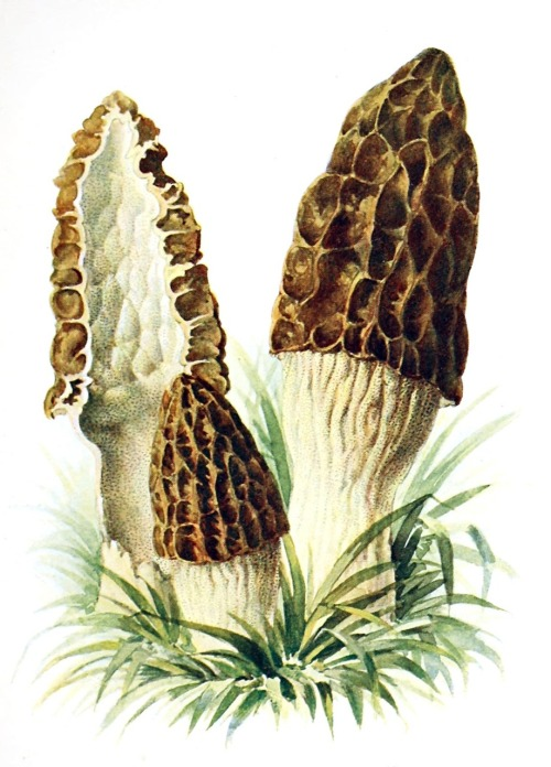 oldbookillustrations:  Black morel (Morchella elata) Albin Schmalfuss, from Führer für Pilzfreunde (The mushroom lover's guidebook) vol. 2, by Edmund Michael, Zwickau, 1901. (Source: archive.org)