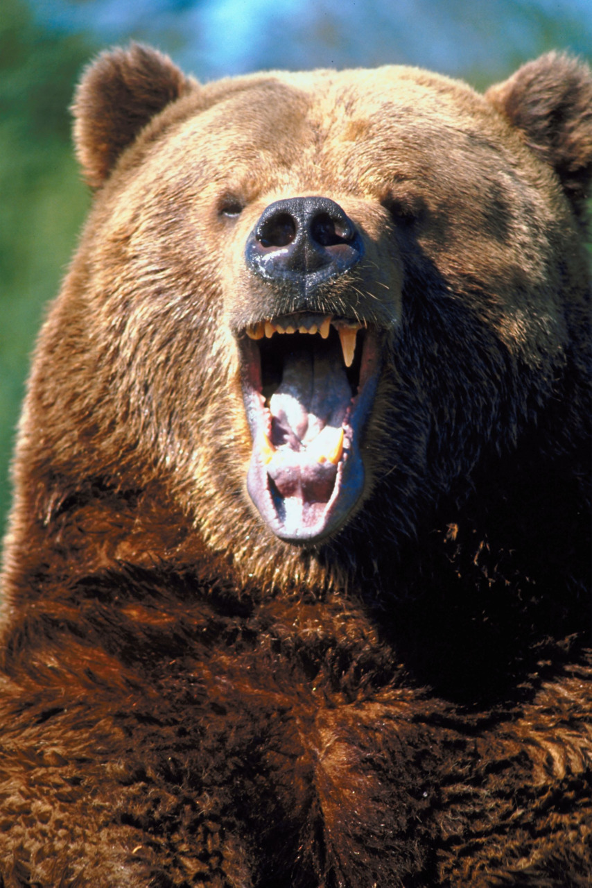 "Man thinks his friend is a bear, shoots him A 22-year-old man is recovering in Victoria General Hospital after his friend shot him in the face, mistaking him for a bear.The two were camping near Vancouver Island's Nitinat River early Saturday when one of the men was woken up by what he thought was a black bear trying to get into their tent, Const. Grant Desmet of Lake Cowichan RCMP said.The man grabbed a shotgun and fired several rounds in the direction of the ""bear.""Instead, the pellets of the gun hit his friend — sleeping head-to-toe at the opposite end of the tent — in the face and the arm, causing severe injuries. (Photo: Thinkstock/ Getty)"