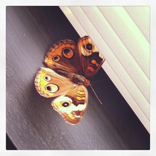 #butterfly #moth #bug #pretty #visitor  (Taken with instagram)