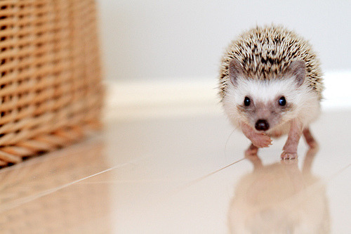 Why is it illegal to have a hedgehog here? They are so cute!!!!