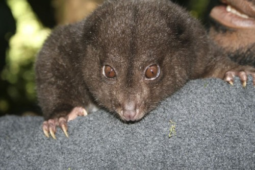 The Bosavi Silky Cuscus (Phalanger sericeus tbd) is a newly discovered subspecies of the Silky Cuscus (P. sericeus), found by science in 2009 on Mt. Bosavi in New Guinea. Cuscuses are marsupials, in the same family as brush-tailed possums. The Silky was first described, as a species, in western science by British zoologist Oldfield Thomas in 1907. (photo via: SuperForest)