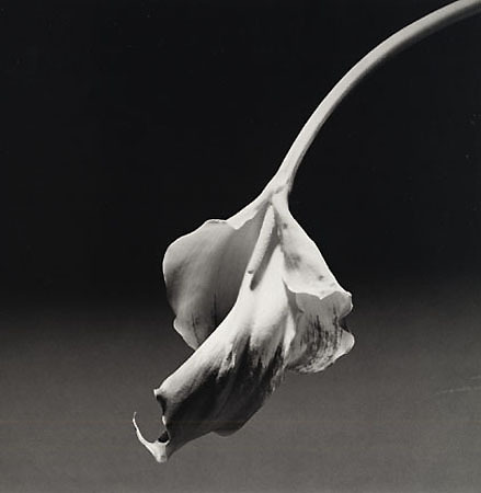 Robert Mapplethorpe Calla Lily 1986