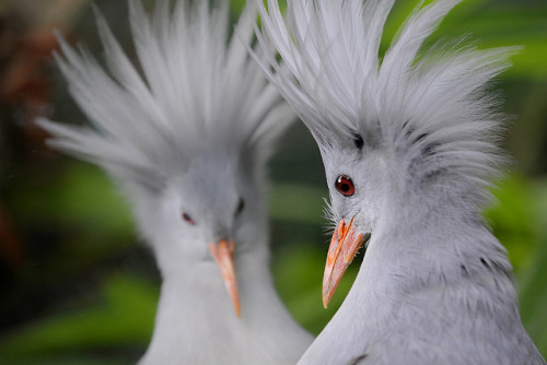 animals-animals-animals:  Kagu - Rhynochetos Jubatus (by wwf_france)