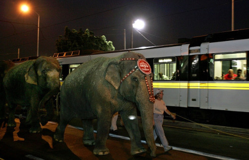 Elephants with Metro Blue Line Train on Flickr.Not an everyday encounter between elephant pedestrians and light rail.