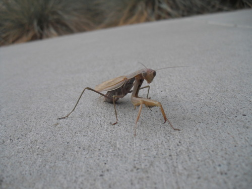 "This is a photo of a pray mantis that I took by my apartment a few days ago. I'm positing this purely out of conceit. Every now and then I take a really awesome picture and I'm like ""WOAH! I took that?!"" This is one of those pictures. P.S. The pray mantises around here are such good models! Most insects fly or run away when you try to photograph them, but the pray mantises just stand there and pose. Plus they're freakin' huge, which generally makes them come out clearer. (I don't have a very fancy camera.)"