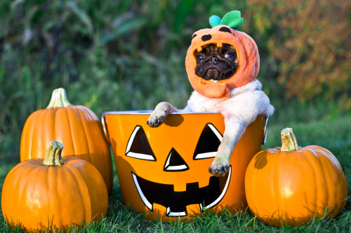 "mugsofpugs:  ""Yeah, I'm dressed as a pumpkin and I'm sitting in a pumpkin. Big whoop, wanna fight about it?"" mytogaglows:  Enough said. Pug-o-lantern"