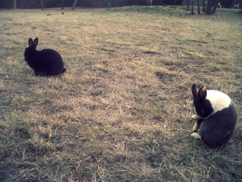 Another rabbit photo. Walked to the park yesterday. (Bad cellphone photography)
