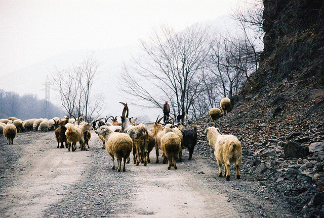 | ♕ |  A good shepherd - Caucasus, Georgia  | by © Dasha Riabchenko | via ysvoice