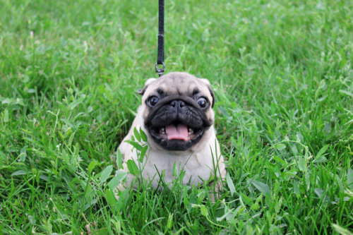 cutepugpics:  Puglet is CRAZY happy to see you! (via Bembie)