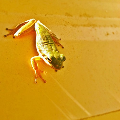There are tons of tree frogs down here!  (Taken with Instagram...