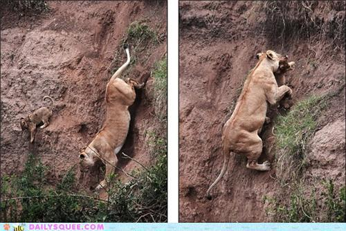 mustvebeenadream:  It's like the real life lion king. Mom lion saves lion cub