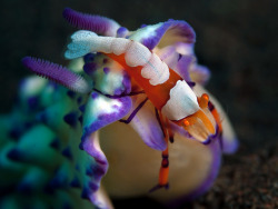 anoceanactivist:  emperor shrimp on nudibranch (by doug.deep)