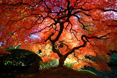 elvoret:  Japanese Maple in the Fall (by Gigapic)