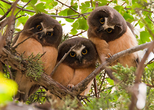 rhamphotheca:  Three juvenile Northern Saw-whet Owls (Aegolius acadicus) in Fossil, Oregon, USA (photo: Kathy and Sam)