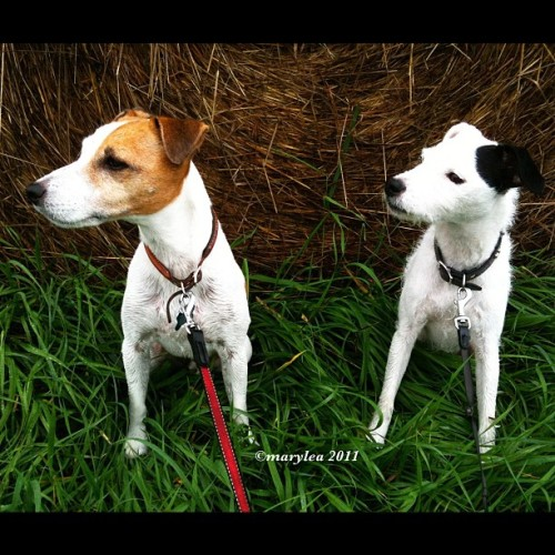 Buddies. Jack Russell Terriers. September 29, 2011. #JRT #terrier #terriers #dogs #dog #ParsonRussell #buddies #friends #rural #haybales #rotoballes #country #hay #field #mlm #maryleafaves  (Taken with instagram)