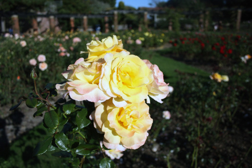 Yellow/white Roses Southsea Rose Gardens 28/9/11