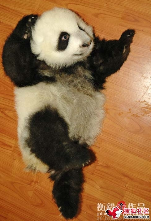 fuckyeahgiantpanda:  © aChinese Food.  If he were standing up … Kung-Fu Panda?  LOL.