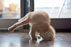 nprfreshair:  maxtheintern:  Yoga Cat  Lest you think we're all about downward dogs here at FA HQ….