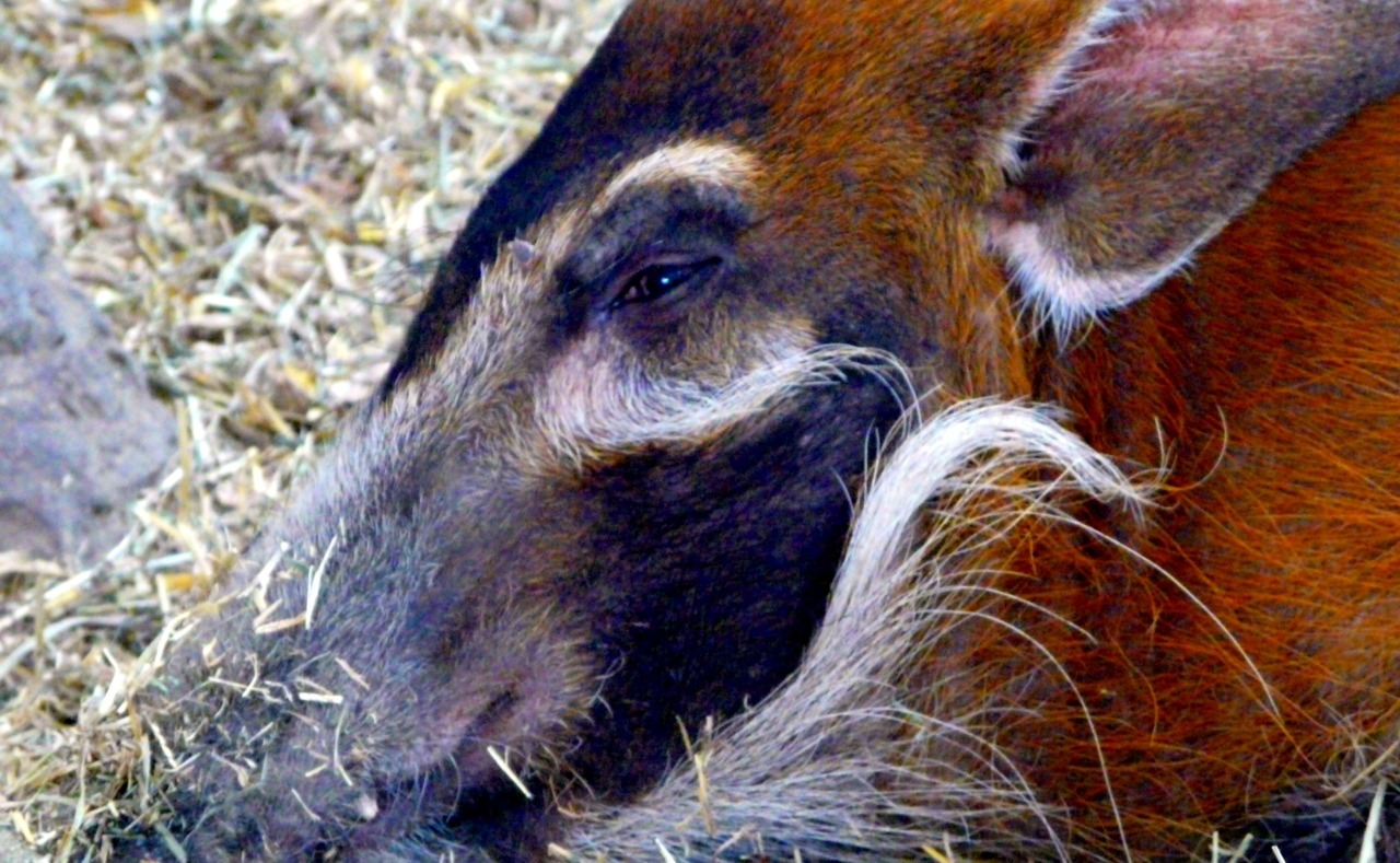 - mistrustful hog - I believe this red river hog thinks that I am up to no good. good instincts, animals.