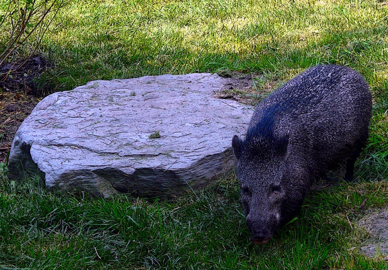 - peckish peccary - possibly hungry. slightly rude name.