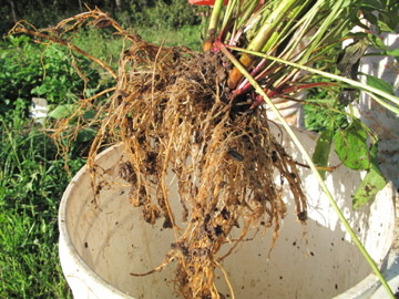 echinacea purpurea root. I knew this plant as coneflower growing up, who knew it held such powerful medicine!