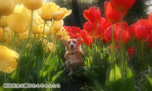 Tiptoe through the tulips wif moi!