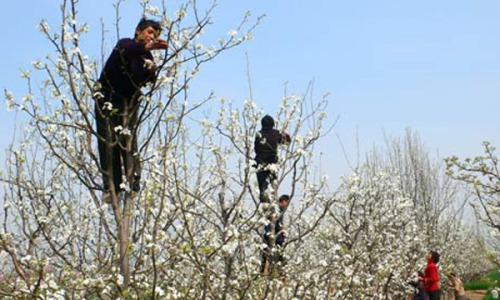 "CHINA- HAND POLLINATION ""Workers in the Maoxian county of Sichuan, China, an area that has lost its pollinators through the indiscriminate use of pesticides and the over-harvesting of its honey, pollinates pear and apple trees by hand. In this part of China, the honeybee has been replaced by the human bee, for the past two decades. Every spring, thousands of villagers climb through fruit trees hand-pollinating blossoms by dipping ""pollination sticks"" (brushes made of chicken feathers and cigarette filters) into plastic bottles of pollen and then touching them against each of the tree's billions of blossoms."" [click here to view on apinews.com]"