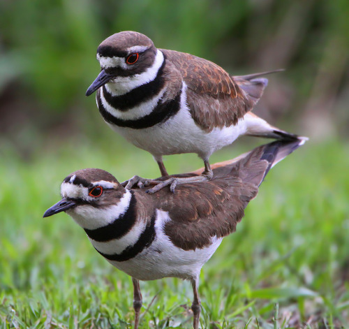 They look like Killdeer to me! magicalnaturetour:  Photo by Walk in the Woods Photography on Flickr. ~ Do you know what kind of birds these are ? :)
