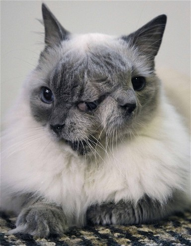 deformutilation:  A cat with two faces, named Frank and Louie, sits on a mat in his home  in Worcester, Mass.  The animal is known as a Janus cat, named for the  figure in Roman mythology with two faces on one head. The owner calls  the face on the left Frank, while the face on the right she calls Louie. Photo credit: Steven Senne / AP