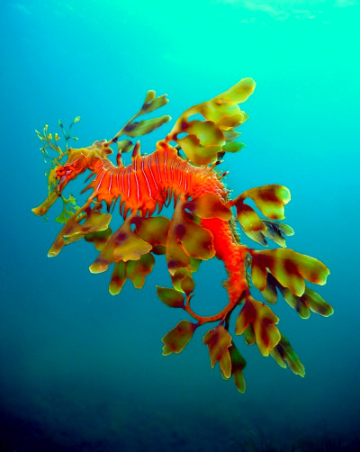 kateoplis:  Male Leafy Sea Dragon laden with eggs