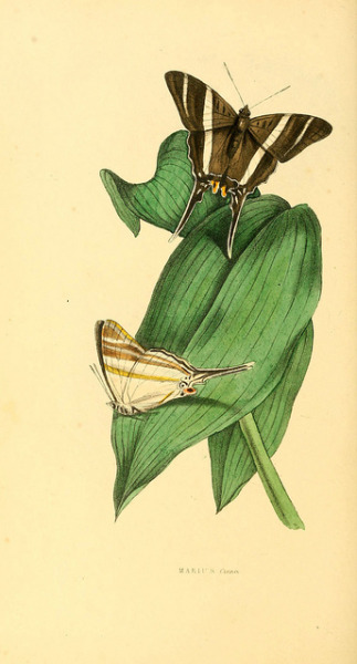 dendroica:  n277_w1150 by BioDivLibrary on Flickr.Via Flickr: Zoological illustrations v.1. London :Baldwin & Cradock,1829-1833.biodiversitylibrary.org/item/92611