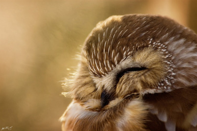 tripudios:  Northern Saw-Whet Owl (by Matt Bango)