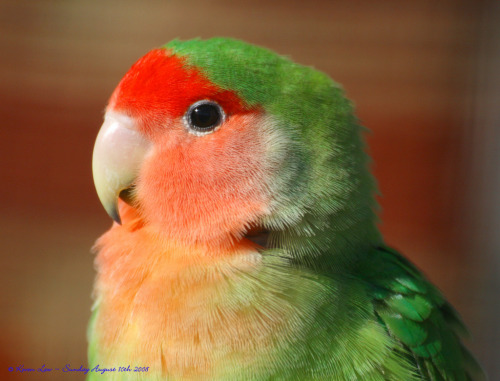 rhamphotheca:  Peach-faced Lovebird (Agapornis roseicollis), Wingham Wildlife Park, Kent, England * In the wild, it is found in arid regions of SW Africa. (photo: Kevin Law)  Hey… weren't these the birds that Jane was drawing when she was with Tarzan?
