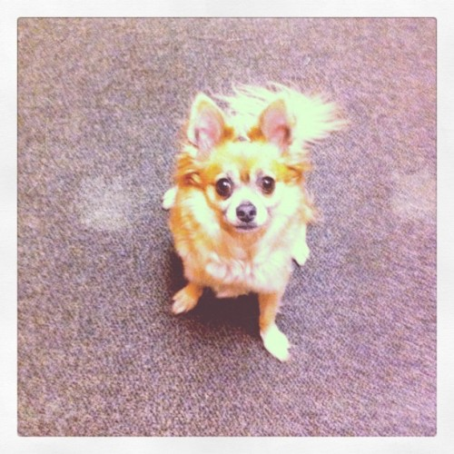 amyminwilliams:  Look at this awesome goddamn dog.  (Taken with instagram)  no seriously, look.