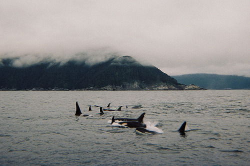 7sorciers:  Orcas (by Brad-Miller)  WANT TO BE HERE RIGHT NOW!!