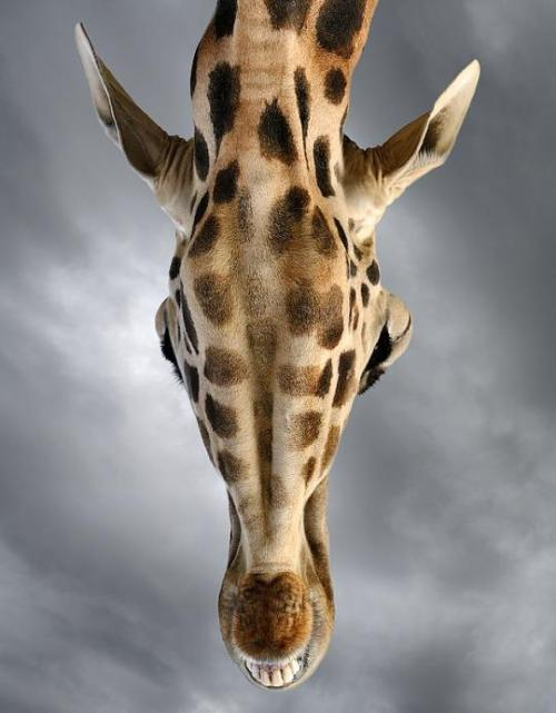 magicalnaturetour:  Looking Up by Marsel Van Oosten :)