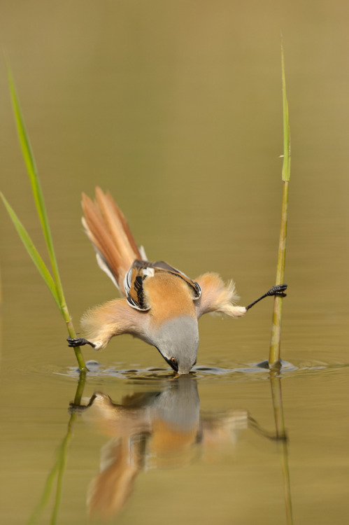 """This must hurt……"" by Edwin KatsBearded reedling are amazing birds. Very acrobatic but quick as  lightning. I was very pleased to finally get this shot after 4 months of  effort."