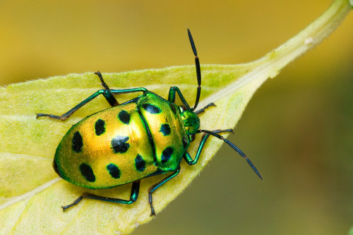"LYCHEE SHIELD BUG - a jewel bugChyrsocoris stolli©nagraj v Jewel bugs are small to medium-sized oval-shaped hemipterans or true bugs with a body length averaging at 5 to 20 mm (0.20 to 0.79 in). They can easily be distinguished from stink bugs (Pentatomidae) because the shield-like enlarged last section of their thorax (known as the scutellum, Latin for ""little shield"") completely covers the abdomen and the wings, unlike the elytra of beetles which are hardened forewings. As such, jewel bugs have four membranous wings underneath the scutellum in contrast to two in beetles.  The scutellum in jewel bugs also does not have a division in the middle  and thus does not 'split open' when they take flight like in beetles. Source: http://en.wikipedia.org/wiki/Scutelleridae Other posts: Elvis-faced Shield Bug Mallotus Shield Bug Mating Festive Tiger Beetles"