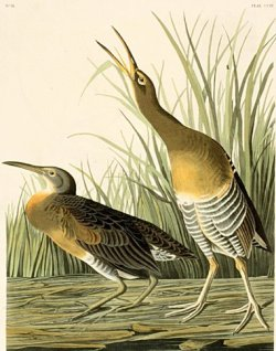 overinformedblues:  John James Audubon, Clapper Rail The Birds of America