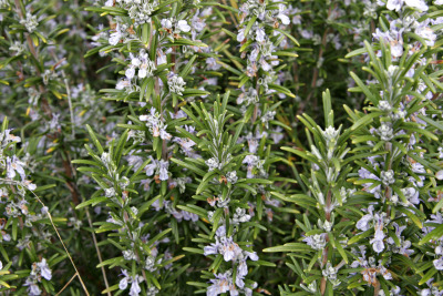"Common name: Rosemary Scientific name: Rosmarinus officinalis or ""dew of the sea"" Characteristics: perennial evergreen, woody shrub with thin, needle-like leaves that are glossy green near the top and whitish to gray-green and hairy below blue to pinkish flowers appear among leaves can grow to be 20 inches to 6 feet depending on the variety  Conditions: full sun, in a dry position needs well-drained soil because it can become susceptible to root rot  Harvest: Pick fresh leaves or sprigs 2-4 inches long Dry sprigs in a cool, dry place, strip leaves from the stems and store in airtight containers Store sprigs in plastic bags for up to 6 months. To use, crumble before thawing. Tip: Not recommended to try to grow from seeds because of long germination times and tend not to come true to type. Instead propagate mainly from cuttings and layering. Rosemary rinses help control greasy hair Use in potpourris  Bunny Tip: Aid in low blood pressure, depression, weakness or exhaustion because it invigorates the circulations and stimulates digestion Inhibits iron intake, be cautious if rabbit has iron deficiency"