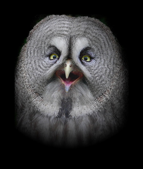 llbwwb:  Big Gray Owl by  tillia