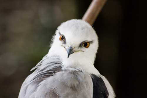 whysofly:  Black-shouldered Kite, Australian Reptile Park, Somersby NSW Australia, November 2008.